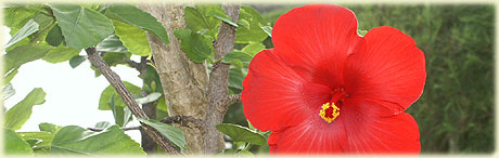 hibiscus flowers in the garden / nighttime at Sokala Villas / photos: Archi