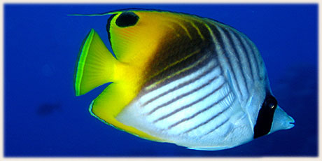 Threadfin Butterfly Fish / © and photo : Graham McDonald